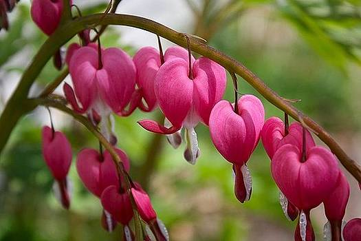 Spring Bleeding Hearts by Tammy Franck