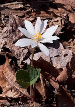 Lara Ellis - Spring Bloodroot Wildflower 2