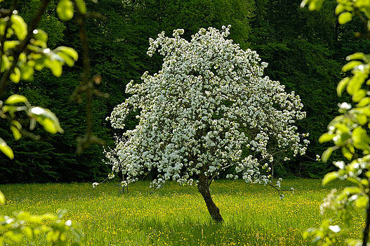 Spring - blooming apple tree and green meadow by Matthias Hauser