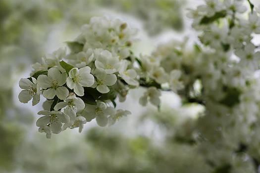 Spring Bloosom by Sebastian Musial