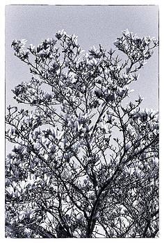 Spring Blossom by David Durham