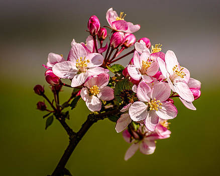 Spring Blossom by Nick Field