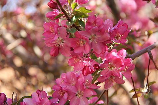 Spring Blossoms # 1 - Albuquerque by Sue  Thomson