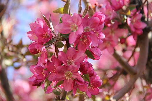 Spring Blossoms # 2 - Albuquerque by Sue  Thomson