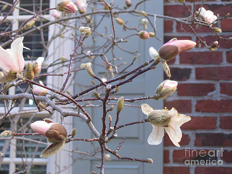 Spring Blossoms in Yorktown  Virginia by Marlene Robbins