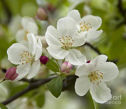 Spring Blossoms by Maria Aiello