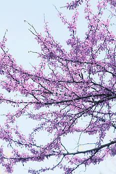 Spring Blossoms by Tammy Franck