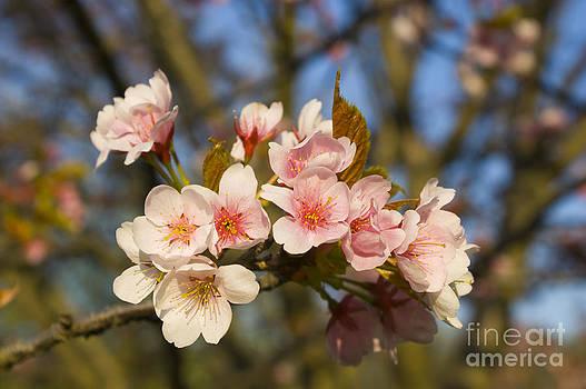 Valerie Fuqua - Spring Blossoms