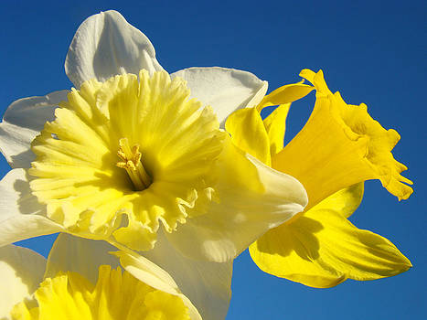 Baslee Troutman - Spring Blue Sky art prints Daffodil Flowers