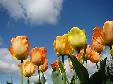 Baslee Troutman - Spring Blue Sky White Clouds Orange Tulip Flowers
