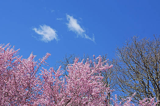Baslee Troutman - Spring Blue Sky White Clouds Pink Tree Oak Tree