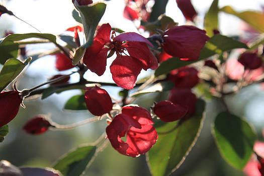 Hanne Lore Koehler - Spring Crabapple Blossom