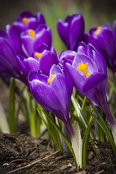 Adam Romanowicz - Spring Crocus Bloom