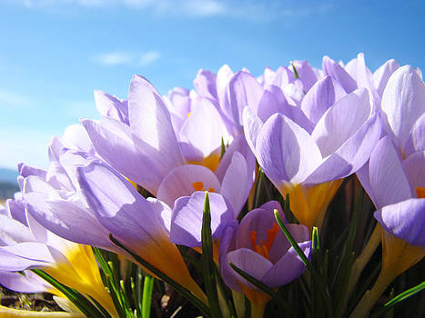Baslee Troutman - Spring Crocus Flowers Art Photography prints