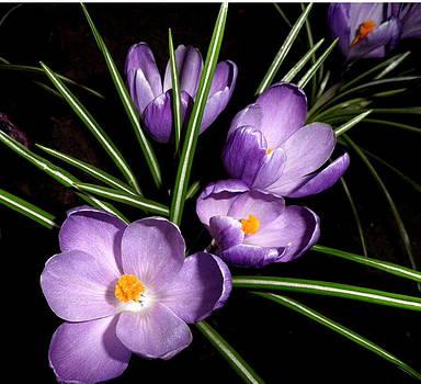 Kate Gallagher - Spring Crocuses