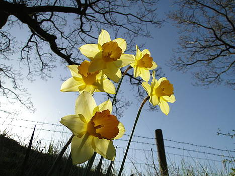 Spring Daffodils by Barrie Woodward