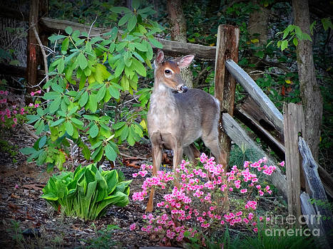 Spring Deer by Crystal Joy Photography