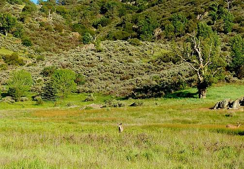 Spring Deer in the Tehachapi Mountains by Jacquelyn Roberts
