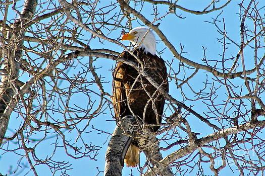 Spring Eagle by Rick  Monyahan