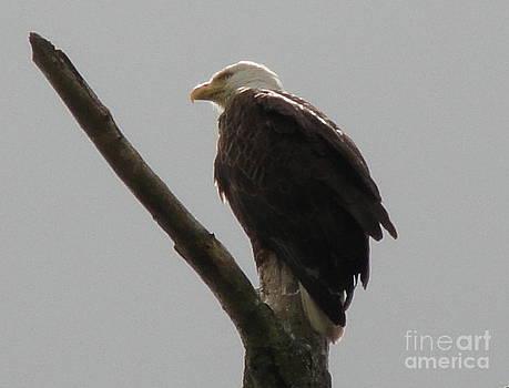 Spring Eagle X by Daniel Henning