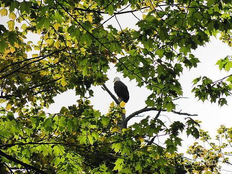 Spring Eagle XI by Daniel Henning