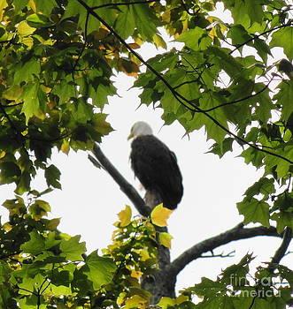 Spring Eagle XII by Daniel Henning