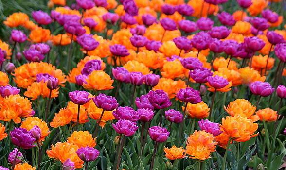 Rosanne Jordan - Spring Fling Tulips