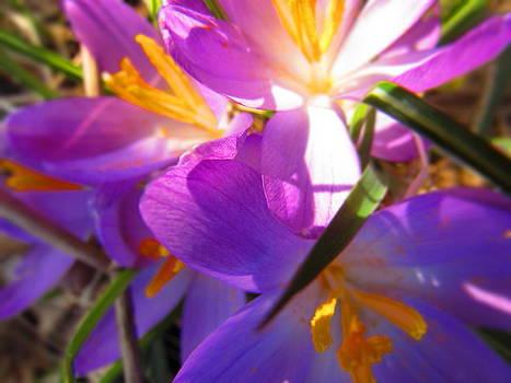 Spring in violet by Chepcher Jones