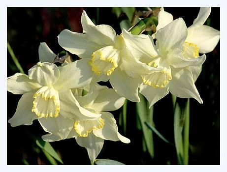 Rosanne Jordan - Spring Light Daffodils
