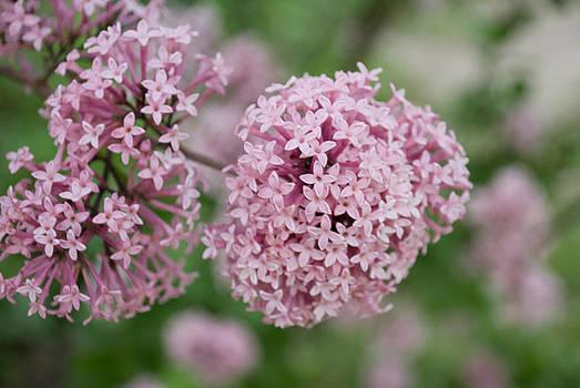 Iryna Soltyska - Spring lilac