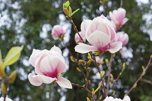 Baslee Troutman - Spring Magnolia tree Flowers Pink White