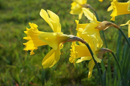 Baslee Troutman - Spring Meadow Field Daffodil Flowers