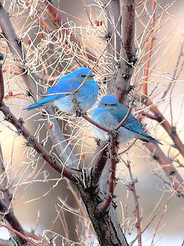 Spring Mtn. Blue Birds by Floyd Tillery