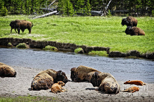 Spring Nap for Bison and Calves by Lincoln Rogers