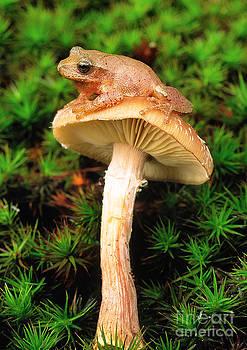 Gary Meszaros - Spring Peeper On Mushroom