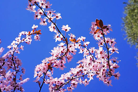 Baslee Troutman - Spring Pink Glowing Blossoms Sunlit Blue Sky