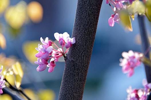 Spring Redbud by David Earl Johnson