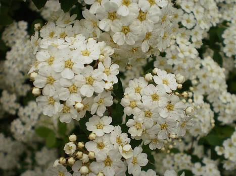 White Spirea by John Arthur Robinson