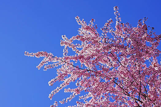 Baslee Troutman - Spring Tree Blossoms Art Blue Sky