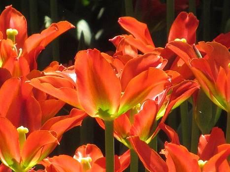 Alfred Ng - spring tulips
