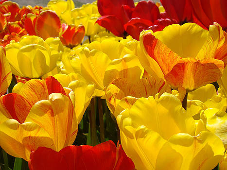 Baslee Troutman - SPRING TULIPS art prints Yellow Red Tulip Flowers