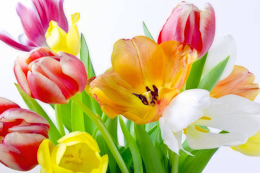 Bright White Red Orange Yellow Pink Tulips Flowers Art Work Photography by Artecco Fine Art Photography