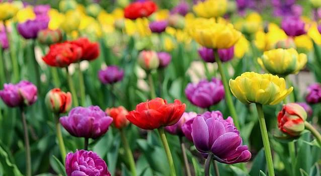 Rosanne Jordan - Spring Tulips of Beauty