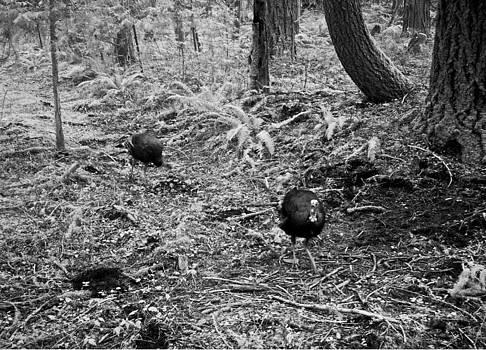 Spring Turkeys by Steve Battle