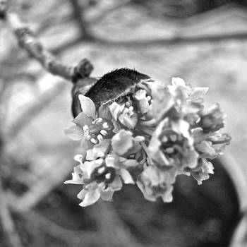 Sandy Tolman - Spring Twigs - 4640 bw crop