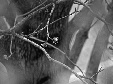 Sandy Tolman - Spring Twigs - 4697 bw