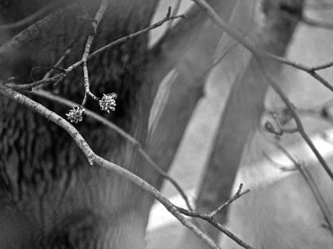 Sandy Tolman - Spring Twigs - 4700 bw