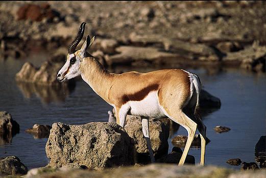 Springbok drinking by Stefan Carpenter