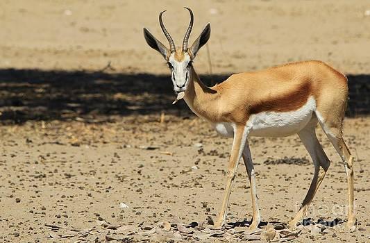 Hermanus A Alberts - Springbok Intensity