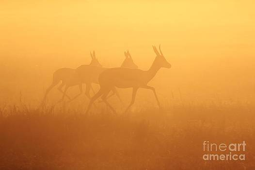 Hermanus A Alberts - Springbok Trio - Running into Gold - African Wildlife
